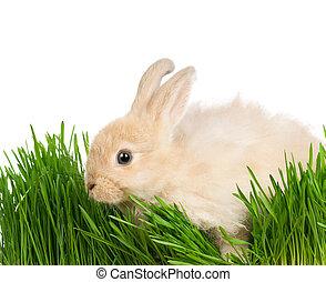 kanin, in, gräs