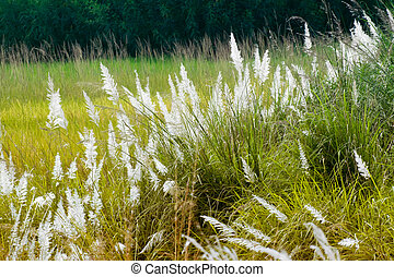 Kans grass , Saccharum spontaneum, Kolkata, West Bengal, India