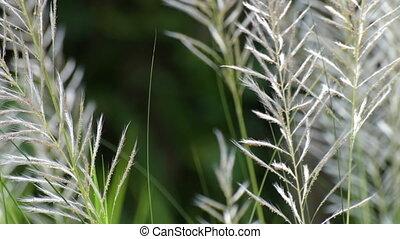 Kans grass (Saccharum spontaneum) moving freely in autumn air