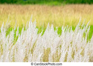 Kans grass , Saccharum spontaneum,Kolkata, West Bengal, India