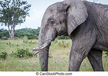 kant profiel, van, een, elefant, in, chobe.