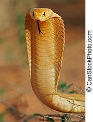 kap, kobra