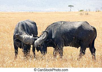kap, masai, büffel, mara