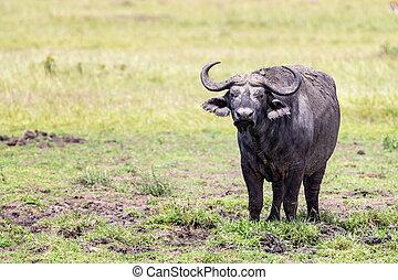 kap, masai, schlammig, büffel, mara