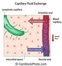kapillær, fluid, udveksling, eps10