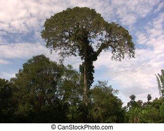 kapok tree (Ceiba pentandra) - Shot from a canoe on the Rio...