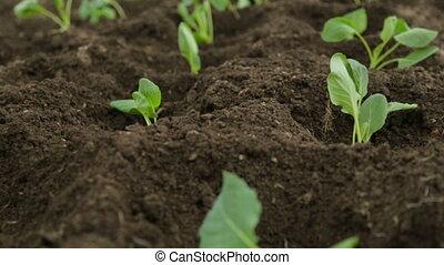 kappes, saplings, in, kleingarten, frisch, betten
