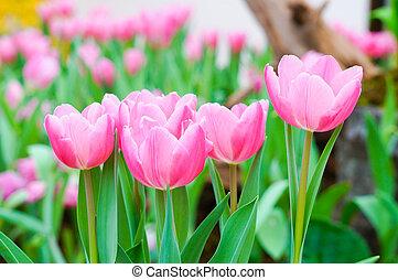 karafiát, tulipán