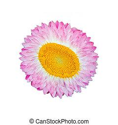 karafiát, tyčinka, detail, květ, hybridní, osamocený, podělanost grafické pozadí, neposkvrněný, názor