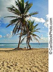 karaibska plaża, dłonie, piaszczysty