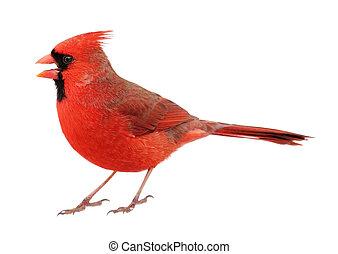 kardinaal, cardinalis, noordelijk, cardinalis, vrijstaand
