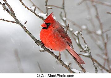 kardinaal, in, sneeuw