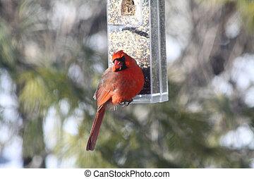 kardinaal, (male), noordelijk