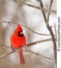 kardinaal, mannelijke , noordelijk, cardinalis