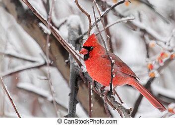 kardinaal, noordelijk, cardinalis