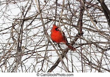 kardinaal, noordelijk, kaart, (cardinalis