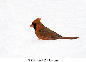 kardinaal, sneeuw