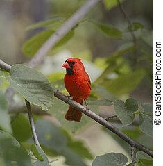 kardinaal, vogel