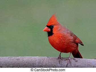 kardinal, in, vinter