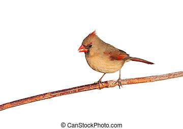 kardinal, samen, essende, weibliche