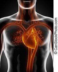 kardiovaskuläres system, mit, herz