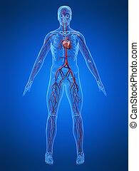 kardiovaskuläres system