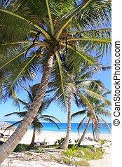 karibisk, kokosnød håndflade, træer, tuquoise, hav