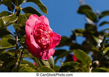 karmozijnrood, camellia, bloem, hemel, tegen