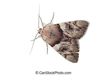 karmozijnrood, licht, moth, underwing