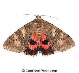 karmozijnrood, minsmere, moth, underwing