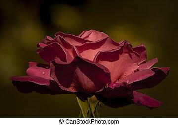 karmozijnrood, roos, rood