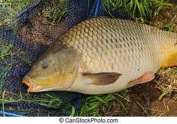 karp, freshwater ryba