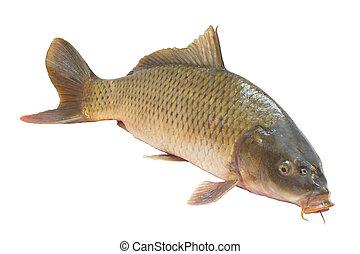 karpfen, fische