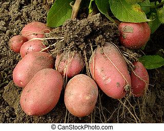 kartofel, bulwy