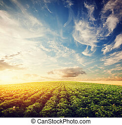 kartoffel, ernte, feld, an, sunset., landwirtschaft, kultiviert, bereich, bauernhof