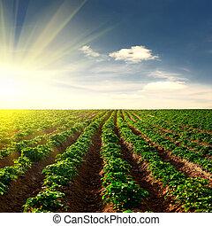 kartoffel, felt, på, en, solnedgang