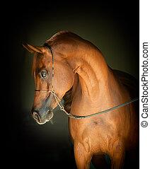 kastanie, arabisches pferd, porträt, auf, schwarzer hintergrund