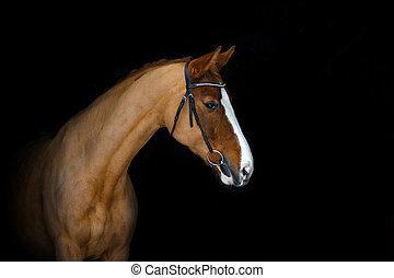 kastanie, pferd, auf, a, schwarz