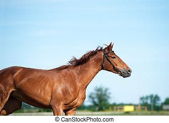 kastanie, pferd, in, bewegung