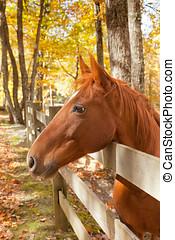 kastanie, pferd