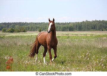 kastanie, pferd, traben, an, der, feld