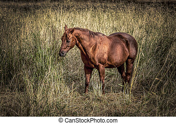 kastanienbraun, pferd, in, grasbedeckt, field.