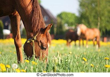 kastanje, akker, paarde, gras, eten