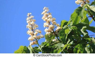 kastanje, bloem, hemel, tegen, bloeien