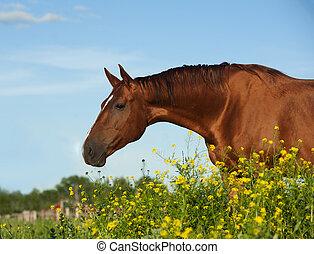 kastanje, gouden, paarde, purebred, gele bloemen