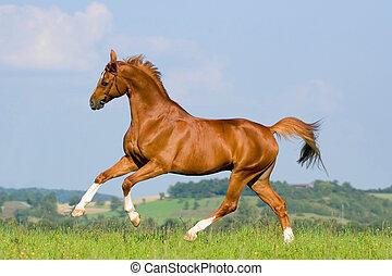 kastanje, häst, springa, in, fält