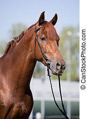 kastanje, häst, stående, in, tygel