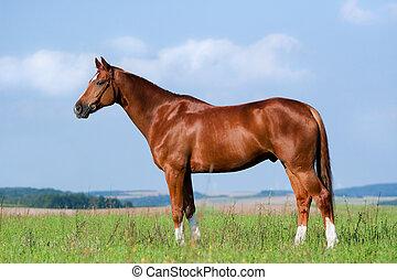 kastanje, paarde, staand, in, akker