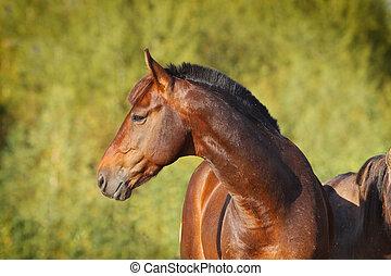 kastanje, paarde
