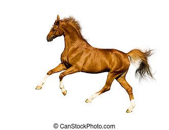kastanje, paarde, vrijstaand, op wit